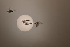 Wildenten, die in einen nebeligen Sonnenuntergang fliegen Stockfotografie