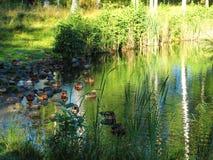 Wildenten, die friedlich auf dem Teich schlafen Stockbild