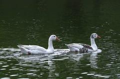 Wildenten, die ruhig in einem See schwimmen stockfoto