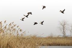 Wildenten fliegen in das Sumpfgebiet stockbilder