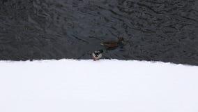 Wildenten im Winter nahe dem Wasser Vögel auf dem Eis des Flusses Das Leben von Tieren in ihrer natürlichen Umwelt stock video