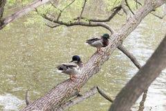Wildenten mit einem glatten dunkel-grünen Kopf stehen auf einem Baumstamm durch den Fluss mit Wasser bedeckten Pappelflaum still lizenzfreie stockbilder
