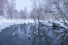 Wildenten schwimmen in einem Winterteich unter Eis und Schnee Stockfotografie