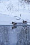 Wildenten schwimmen in einfrierendem Winterteich unter Eis und Schnee Stockfotos