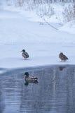 Wildenten schwimmen im Winterteich unter Eis und Schnee Stockfotos