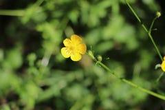 wilder żółty kwiat Zdjęcie Royalty Free