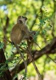 Wilder Affe in Afrika auf einem Baum Stockbild