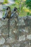 Wilder Affe in Afrika-Stadt auf einem Zaun Lizenzfreie Stockfotos