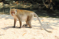 Wilder Affe auf Sand Stockbilder