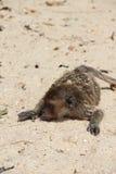 Wilder Affe auf Sand Stockbild