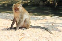 Wilder Affe auf Sand Lizenzfreie Stockbilder
