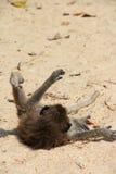 Wilder Affe auf Sand Lizenzfreie Stockfotografie