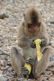 Wilder Affe beim Speisen auf den Felsen mit Stockfoto
