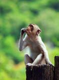 Wilder Affe, der auf Baumstumpf sitzt und zu oberem Vorwärts schaut Stockbild