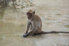 Wilder Affe, der auf der Seestrand und -fütterung sitzt Stockfotos