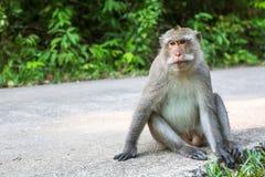 Wilder Affe, der auf einer Straße sitzt nave Lizenzfreie Stockbilder