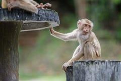 Wilder Affe, der auf konkretem Stuhl im Wald des Nationalparks sitzt Stockbild