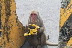 Wilder Affe, der Banane isst Stockbild