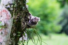 Wilder Affe, der am Baum hängt Stockfotos