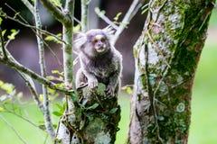 Wilder Affe, der am Baum hängt Stockbilder