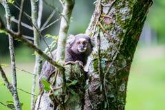 Wilder Affe, der am Baum hängt Lizenzfreies Stockbild