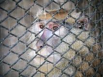 Wilder Affe, der durch die Zoozelle eingesperrt schaut Stockbilder