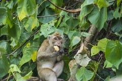 Wilder Affe, der ein Stück Brot genießt Stockfoto