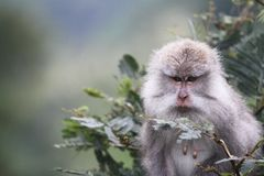 Wilder Affe, der in einem Baum sich versteckt Lizenzfreie Stockfotos