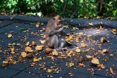 Wilder Affe, der etwas Frucht mit Interesse isst Lizenzfreie Stockfotos