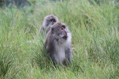 Wilder Affe, der im Gras sich versteckt Stockbilder