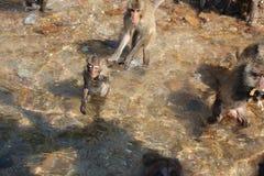 Wilder Affe, der im Wasser in Thailand badet Stockbilder