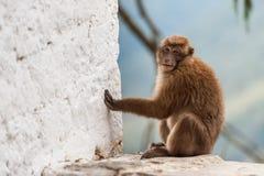 Wilder Affe, der Kamera betrachtet Stockfotos