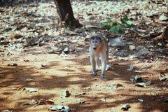 Wilder Affe im Dschungel von Indien Stockbild