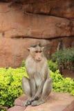 Wilder Affe, Indien, für Touristen Lizenzfreies Stockbild
