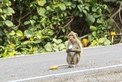Wilder Affe isst Banane Stockfotos