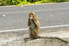Wilder Affe isst Frucht Stockbilder