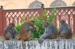 Wilder Affe Jaipur Indien Lizenzfreies Stockbild