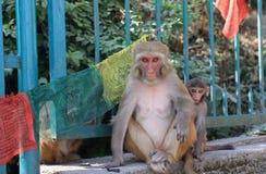 Wilder Affe Kathmandu Nepal Lizenzfreie Stockfotografie