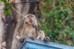 Wilder Affe in Malaysia Lizenzfreie Stockbilder