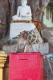 Wilder Affe mit Buddha-Skulptur auf dem Hintergrund Stockbilder