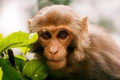 Wilder Affe mit einer grünen Niederlassung Lizenzfreie Stockfotos