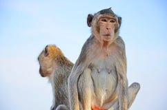 Wilder Affe mit ihrem Freundabschluß oben Lizenzfreies Stockbild