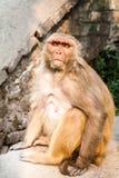 Wilder Affe nahe der Backsteinmauer Stockfotografie