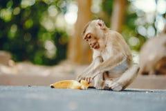 Wilder Affe in Phuket Thailand Lizenzfreies Stockbild