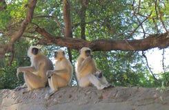 Wilder Affe Udaipur Indien Lizenzfreies Stockfoto