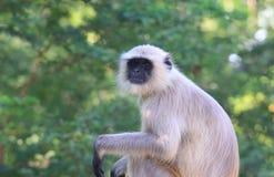 Wilder Affe Udaipur Indien Lizenzfreies Stockbild