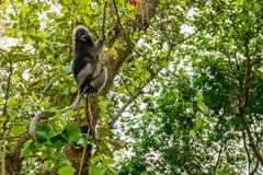 Wilder Affe vom Dschungel, Krabi, Thailand Stockfotografie