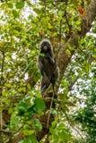 Wilder Affe vom Dschungel, Krabi, Thailand Stockbilder