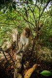 Wilder Affe vom Dschungel, Krabi, Thailand Lizenzfreie Stockfotografie