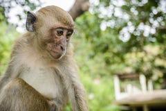Wilder Affe vom Dschungel, Krabi, Thailand Lizenzfreies Stockfoto